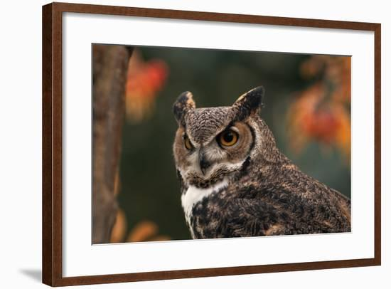 Great Horned Owl with Blurred Autumn Foliage-W. Perry Conway-Framed Photographic Print