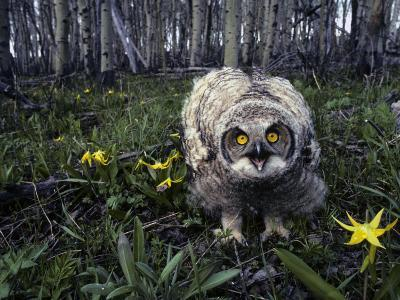 Great Horned Owl Young in Aspen Grove, Idaho-Michael S^ Quinton-Photographic Print