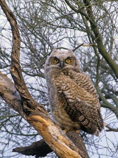Great Horned Owl Young or Owlet, Bubo Virginianus, Arizona, USA-John & Barbara Gerlach-Photographic Print