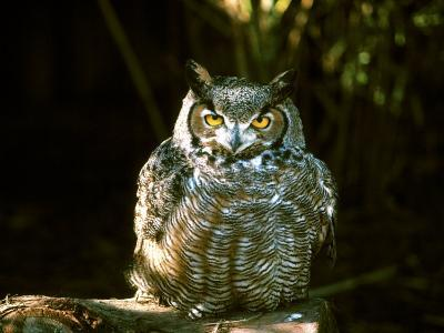 Great Horned Owl-Jerry Koontz-Photographic Print