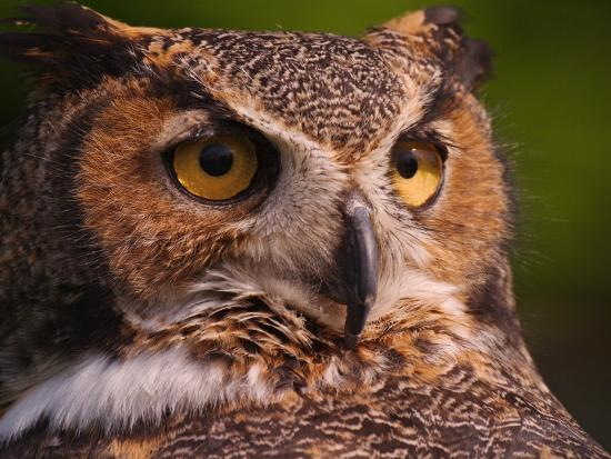 Great Horned Owl-Adam Jones-Photographic Print