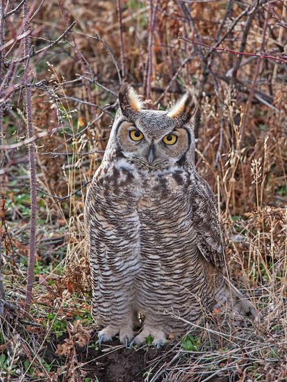 Great Horned Owl-Larry McFerrin-Photo