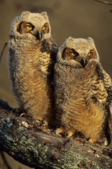 Great Horned Owls Approx. 6 Weeks Old, Illinois-Richard and Susan Day-Photographic Print