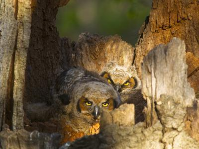 Great Horned Owls at Nest Site in Defiance, Ohio, Usa-Chuck Haney-Photographic Print
