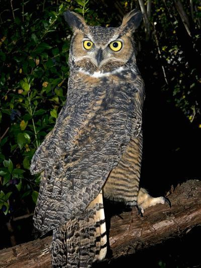 Great Horned Owls (Bubo Virginianus) Native to North America and in Central and South America-Michael Kern-Photographic Print