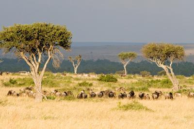 Great Migration of Wildebeests, Masai Mara National Reserve, Kenya