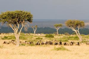 Great Migration of Wildebeests, Masai Mara National Reserve, Kenya