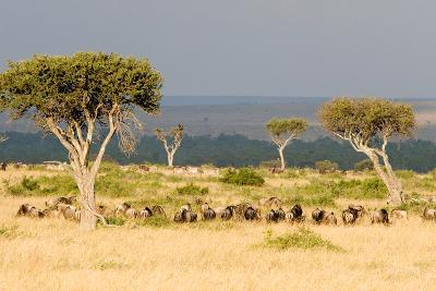 Great Migration of Wildebeests, Masai Mara National Reserve, Kenya--Photographic Print