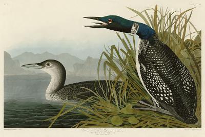 Great Northern Diver or Loon-John James Audubon-Art Print