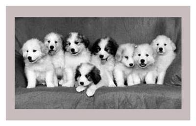 Great Pyrenees Puppies--Art Print
