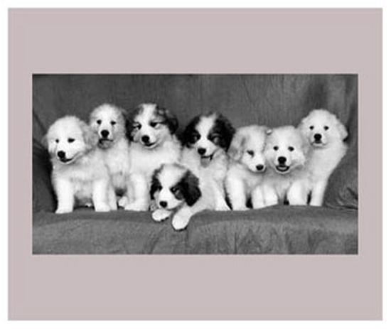 Great Pyrenees Puppies--Art Print