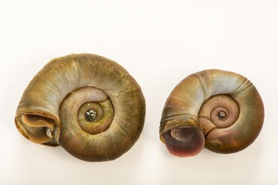 Great ramshorn snails, Planorbarius corneus, at Alpenzoo in Innsbruck, Austria.-Joel Sartore-Photographic Print