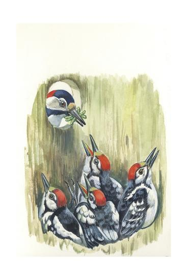 Great Spotted Woodpecker Dendrocopos Major While Carrying Food to Young in Nest--Giclee Print