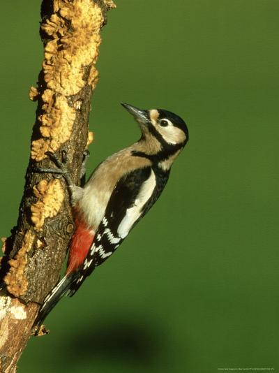 Great Spotted Woodpecker, Portrait-Mark Hamblin-Photographic Print