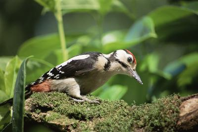 Great Spotted Woodpecker-David Aubrey-Photographic Print