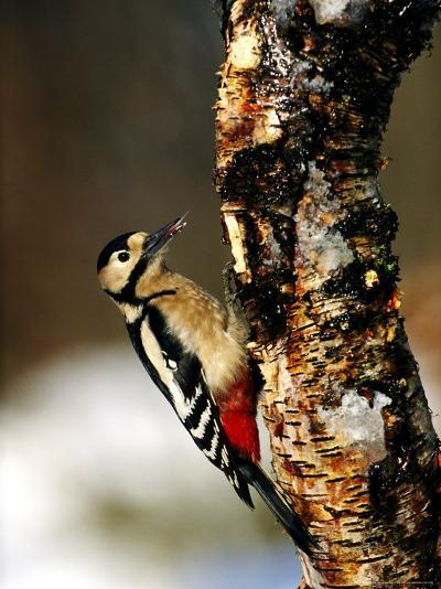 Great Spotted Woodpecker-Mark Hamblin-Photographic Print