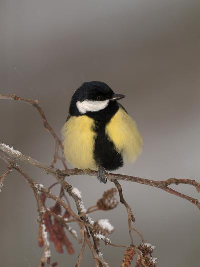 Great Tit on a Snowy Branch (Parus Major), Pyrenees, France-Dave Watts-Photographic Print