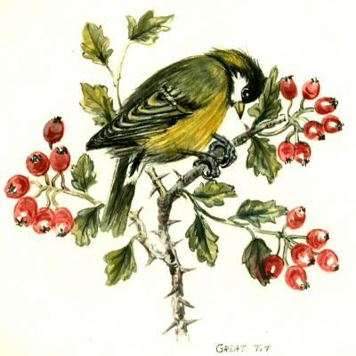 Great Tit on Hawthorn-Nell Hill-Giclee Print