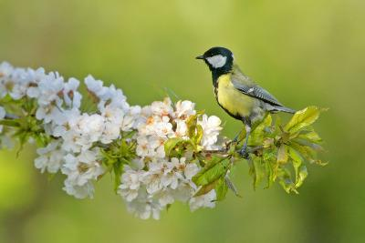 Great Tit Sitting on Blooming Cherry Tree Twig--Photographic Print