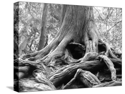 Great Tree-Daniel Valdivieso-Stretched Canvas Print