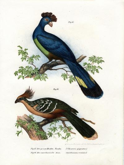 Great Turaco, 1864--Giclee Print