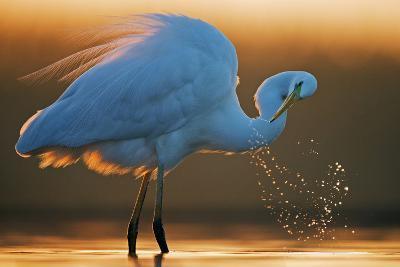 Great White Egret (Ardea Alba) Splashing, Hungary, January-Markus Varesvuo-Photographic Print