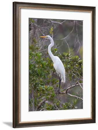 Great White Egret, Casmerodius Albus-Ian Nichols-Framed Photographic Print