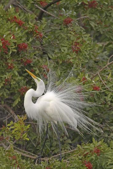 Great White Egret Displaying in Tree--Photographic Print