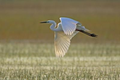 Great White Egret in Flight over Water Meadow--Photographic Print