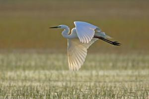 Great White Egret in Flight over Water Meadow