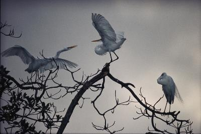 Great White Egrets (Casmerodius Albus) Perched on Tree Branches-Michael Nichols-Photographic Print