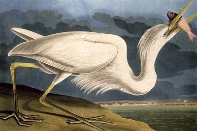 https://imgc.artprintimages.com/img/print/great-white-heron-from-birds-of-america_u-l-q1ga2f80.jpg?artPerspective=n