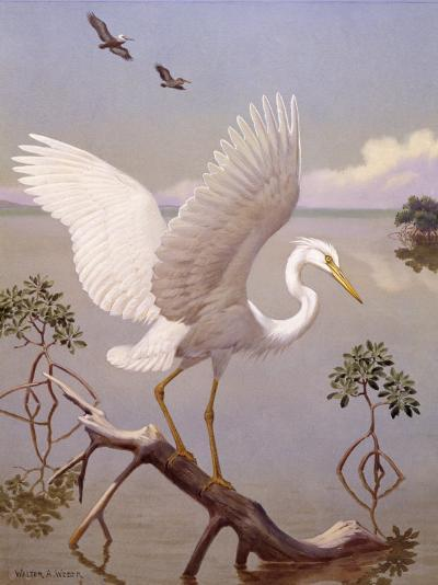 Great White Heron, White Morph of Great Blue Heron, Spreads its Wings-Walter Weber-Photographic Print