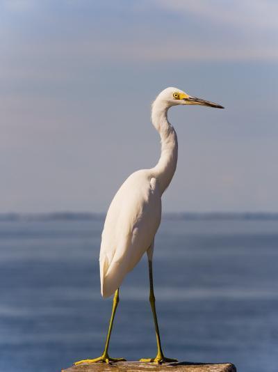 Great White Heron-Thomas Winz-Photographic Print