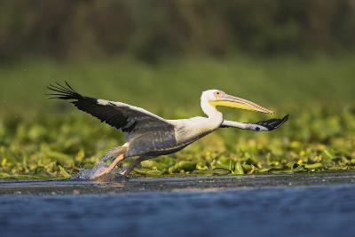 Great White Pelican Bird in the Danube Delta, Europe, Romania-Martin Zwick-Photographic Print