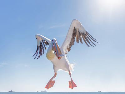 Great White Pelican Catches Fish Thrown by Tourists on the Deck of the Ship - Namibia, South Africa-Vadim Petrakov-Photographic Print