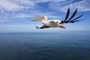 Great White Pelican in Flight over the Atlantic