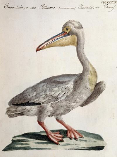 Great White Pelican (Onocrotalus Pelecanus)--Giclee Print
