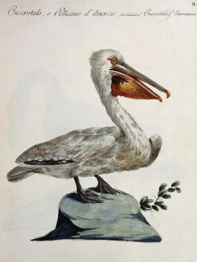 Great White Pelican or American Pelican (Onocrotalus Americanus)--Giclee Print
