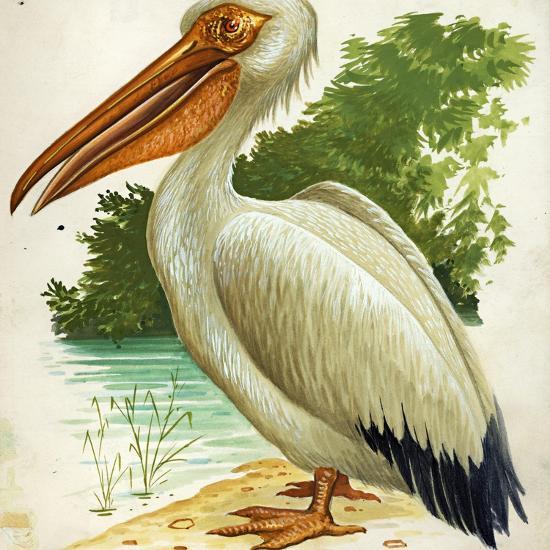 Great White Pelican Pelecanus Onocrotalus--Giclee Print