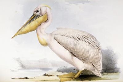 https://imgc.artprintimages.com/img/print/great-white-pelican_u-l-ppr0b70.jpg?p=0