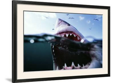 Great White Pointer Shark--Framed Photographic Print