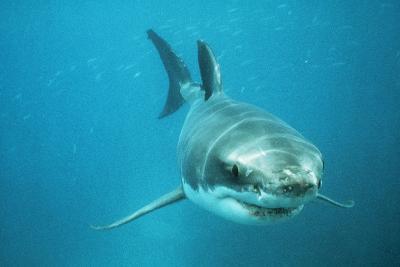 Great White Pointer Shark--Photographic Print