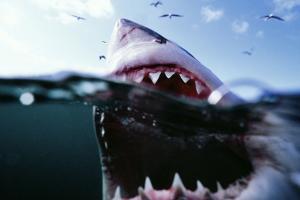 Great White Pointer Shark