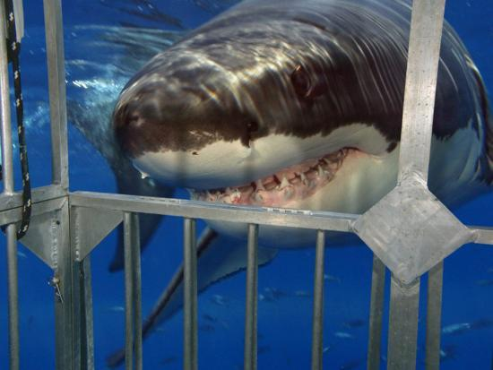 Great White Shark Attacking a Shark Cage (Carcharodon Carcharias), Guadalupe Island, Mexico-David Fleetham-Photographic Print