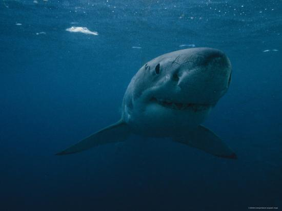 Great White Shark, Australia-Bill Curtsinger-Photographic Print