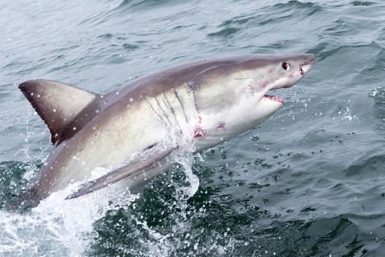 Great White Shark (Carcharodon Carcharias) at the Surface at Kleinbaai in the Western Cape-Louise Murray-Photographic Print