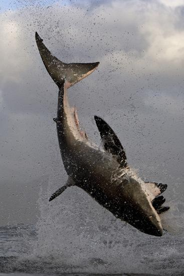 Great White Shark (Carcharodon Carcharias) Breaching Whilst Attacking Seal Decoy-Chris & Monique Fallows-Photographic Print