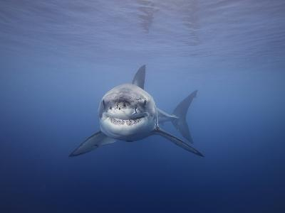 Great White Shark (Carcharodon Carcharias), Guadalupe Island, Mexico-David Fleetham-Photographic Print
