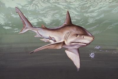 https://imgc.artprintimages.com/img/print/great-white-shark-carcharodon-carcharias-lamnidae_u-l-pve46k0.jpg?p=0